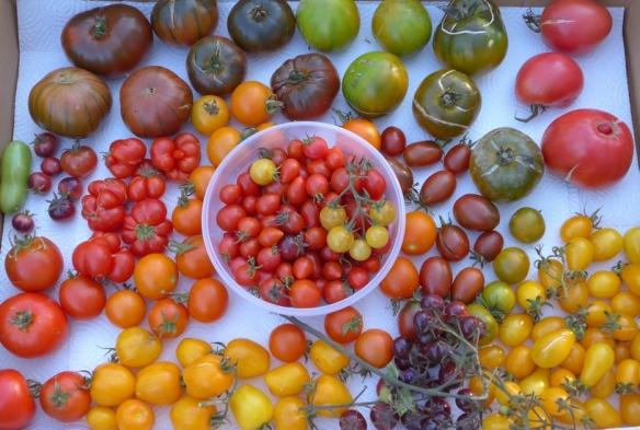 Bunte Sortenvielfalt bei der Tomatenernte