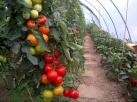 tomaten+paprika